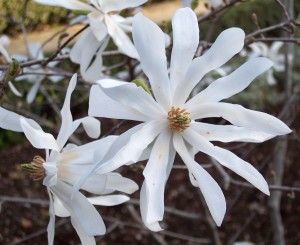 Magnolia Stellata 002