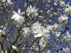 Magnolia loebneri Donna 01