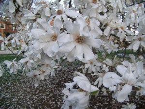 Magnolia loebneri Merrill 01