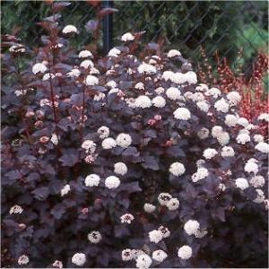 Physocarpus opulifolia Diabolo 003
