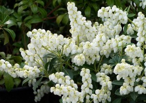 Pieris japonica White Carneval