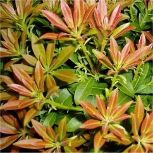 Pieris japonica Yakusimanum Nanaum