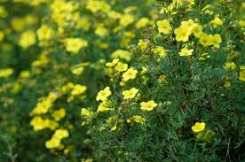 Potentilla fruticosa Fridheim
