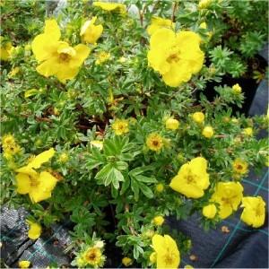 Potentilla fruticosa Goldteppich