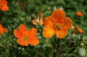 Potentilla fruticosa Hopleys Orange