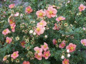 Potentilla fruticosa Pretty Polly