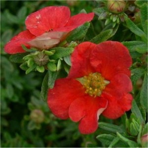 Potentilla fruticosa Red Lady