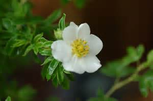 Potentilla fruticosa Sandved