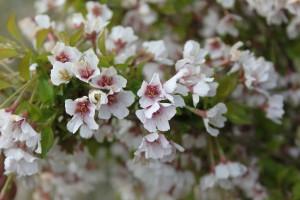 Prunus cistena Kojou no Mai