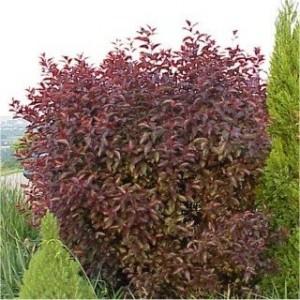 Prunus cistena busk 002