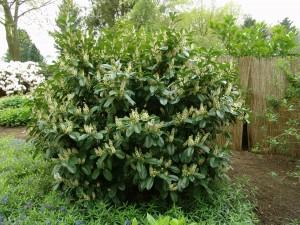 Prunus laurocerasus Etna 02