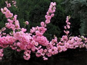 Prunus triloba 01