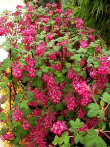 Ribes sanguineum Koja 003