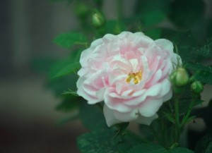 Jacobite Rose or Rosa 'Alba Maxima'