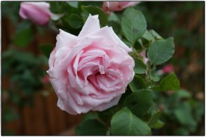 Rose La France