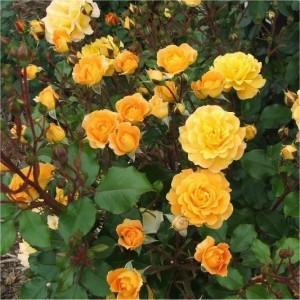 SLYNGROSE Golden Perfume 001
