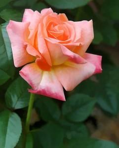 SLYNGROSE Pink Dawn 001