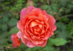 STILKROSE Albrecht Dürer Rose