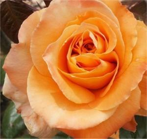 STILKROSE Flora Danica
