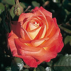 STILKROSE Konigin der Rosen