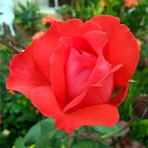 STILKROSE Scarlet Queen Elisabeth