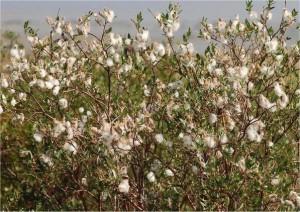Salix alaxensis 'Kenai' 01