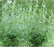 Salix alaxensis 'Kenai' 02