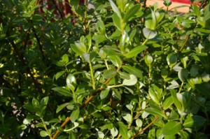 Salix phylicifolia 'Brekkavier'