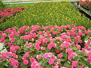 Flittig Lise og Helichrysum