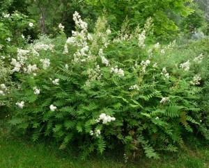 Sorbaria grandiflora 'Maia' ('Tromsø')