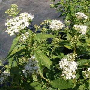 Spiraea japonica Albiflora_liten