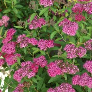 Spiraea japonica Contry Red_liten