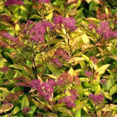 Spiraea japonica Firelight_liten