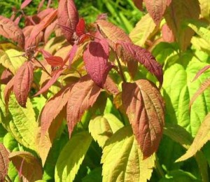 Spiraea japonica 'Machrophylla'