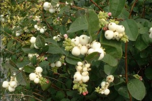 Symphoricarpos albus 'White Hedge'