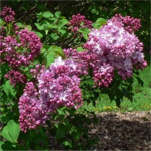 Syringa hyacinthiflora Esther Staley