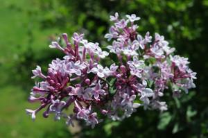 Syringa pubescens ssp. microphylla 'Superba'