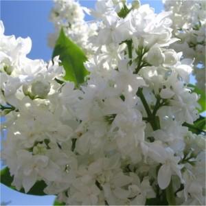 Syringa vulgaris Mme Lemoine