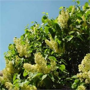 Syringa vulgaris Primrose