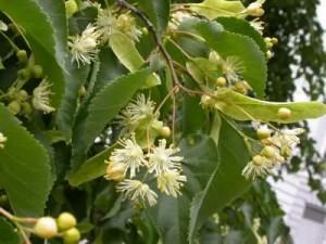 Tilia cordata blomst