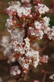 Viburnum farreri (fragrans)