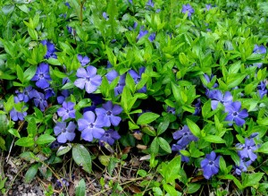 Vinca minor blå