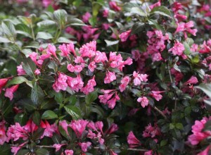 Weigela florida 'Minor Black'