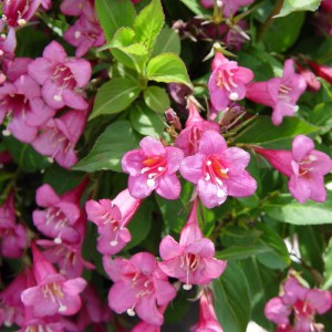 Weigela florida 'Purpurea'